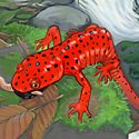 red-bearded salamander_copyrighted nature illustration_JMTurley