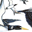 Loons Flying_copyrighted nature illustration_JMTurley